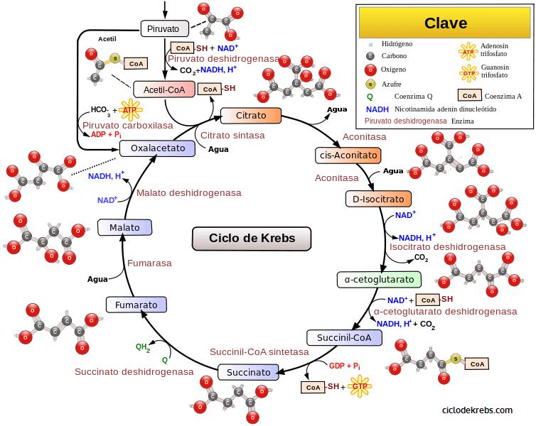 http://www.ciclodekrebs.com/media/Ciclo_de_Krebs.png