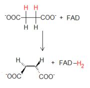 Reacción succinato-fumarato