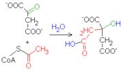 Reacción 1 del Ciclo de Krebs: Citrato sintasa